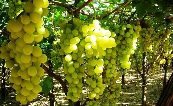 Vino comunit montana val trompia - Vivai rauscedo uva da tavola ...